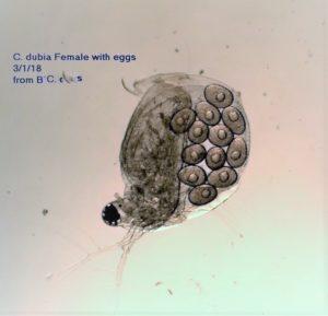 Ceriodaphnia dubia with eggs